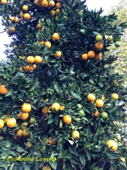 My orange tree