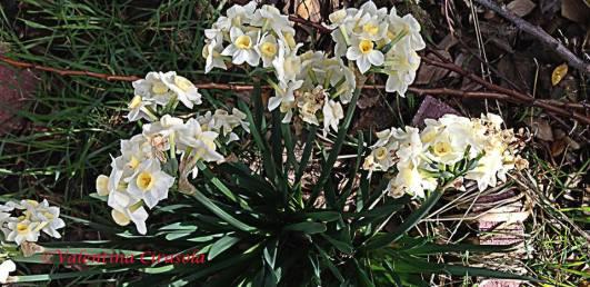 White paper lilies