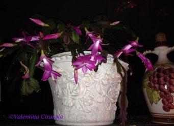 Winter star plant