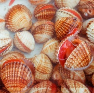 Sea Cockles-Photo found on http://www.pescherialoscoglio.it/frutti-di-mare.html