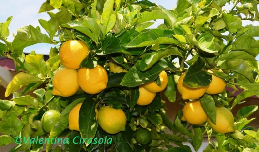 My Lemon Tree