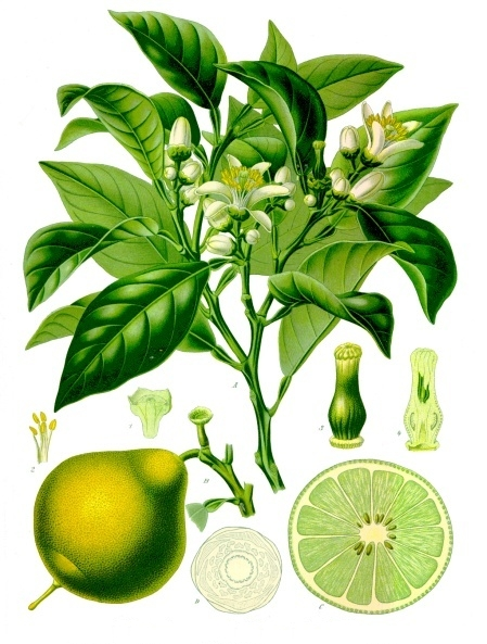 Citrus_bergamia_-_Köhler–s_Medizinal-Pflanzen-184