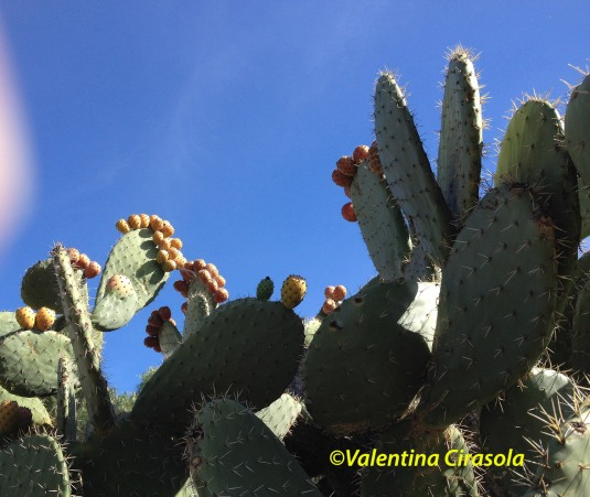 Cacti-PricklyPears